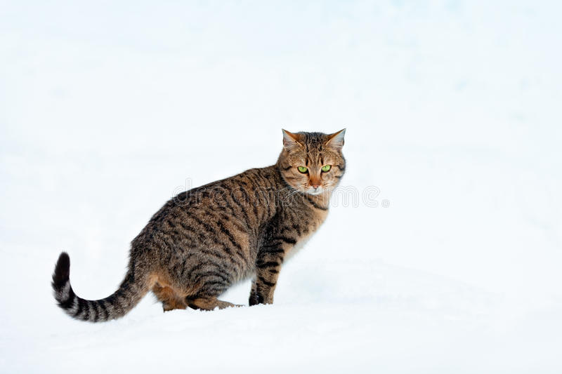 Cat in snow. The cat is on a snow-covered field stock photography