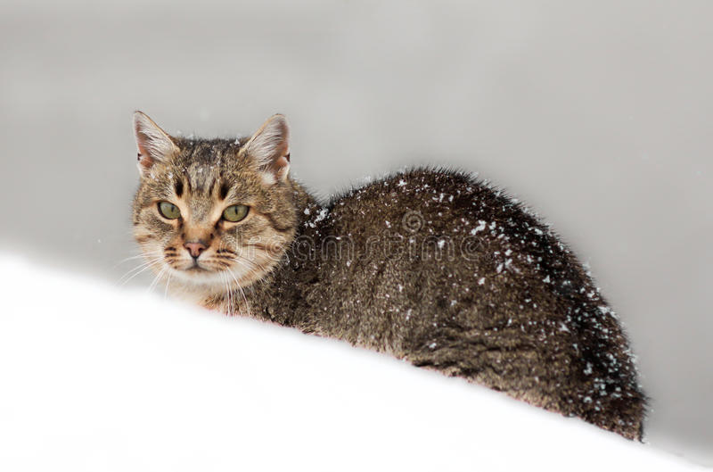 Cat in the snow. Freezing cat looking sad covered by snow royalty free stock images