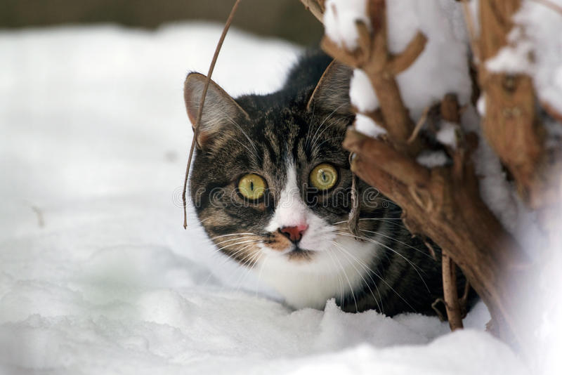 Cat in the snow, hiding behind a tree stock photography