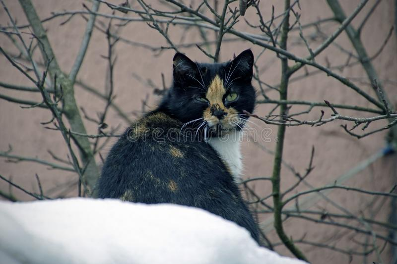 Cat on the snow. March is approaching. Animation in nature. Branches of plants in the garden. Fluffy animal with green eyes stock photos