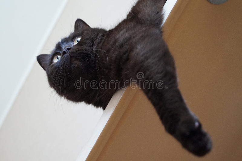 The British Shorthair Cat stock photography