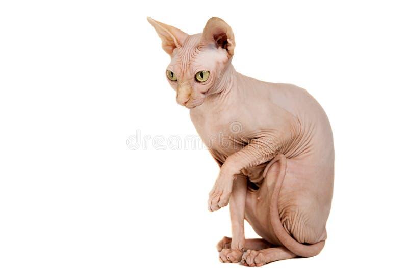 Cat Sphinx arkivbild