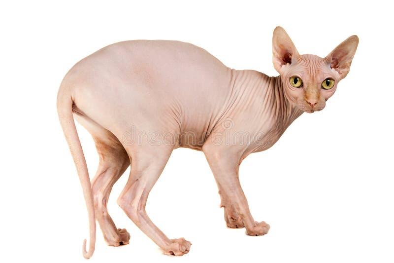 Cat Sphinx royaltyfri foto