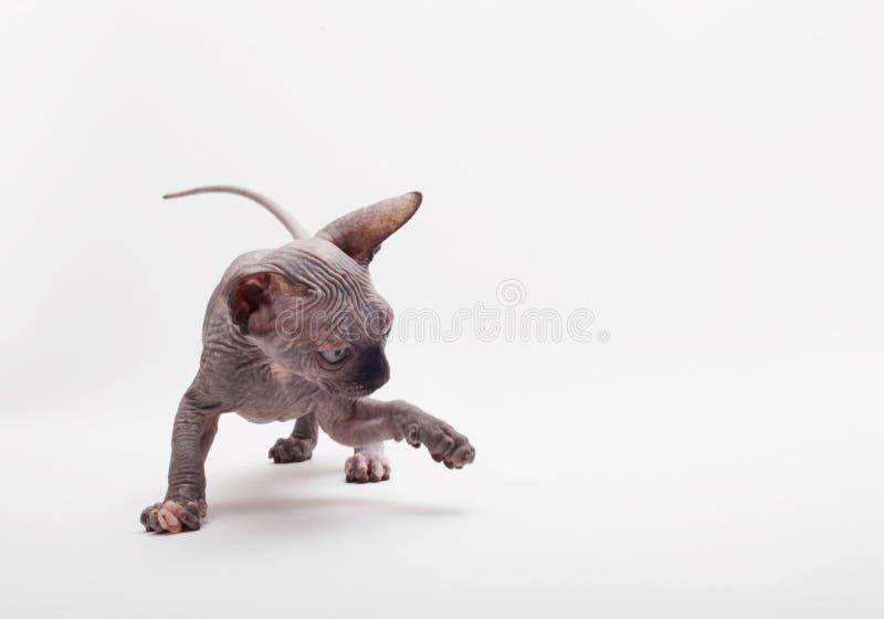 Cat Sphinx Sphynx calva Gatinho brincalhão imagens de stock