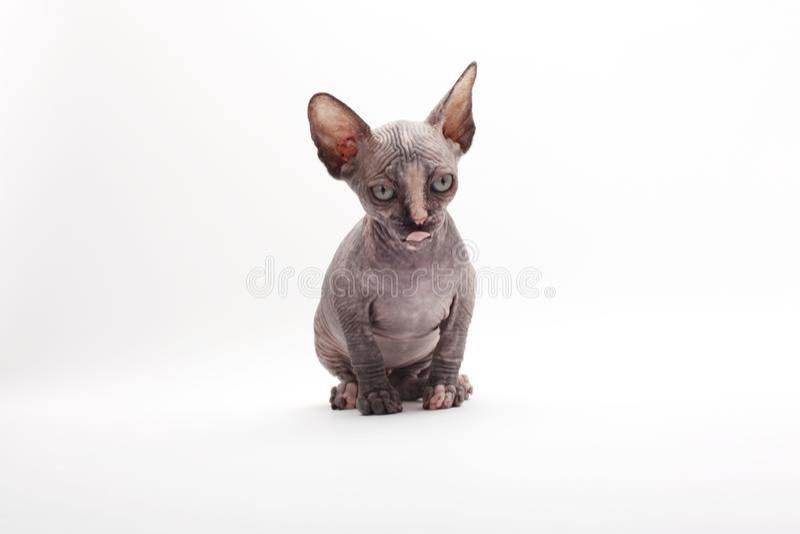 Cat Sphinx Sphynx chauve photographie stock
