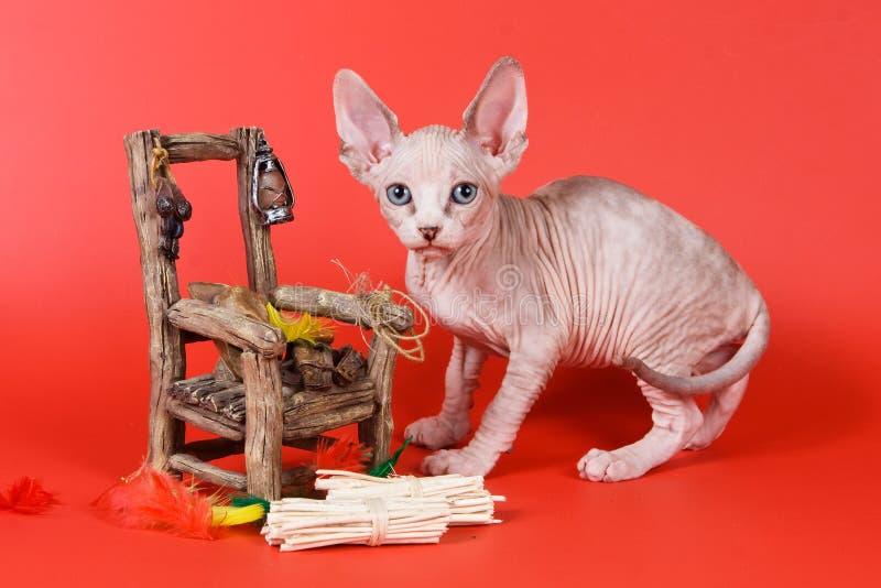 Cat Sphynx-Katze kahl stockfotos