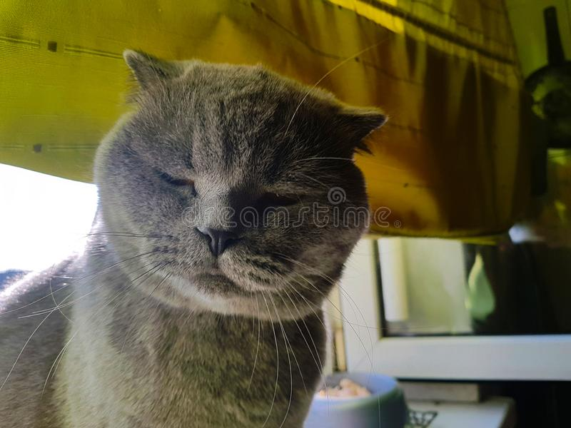 Grey cat on a windowsill. The cat squeezed his eyes shut. Gray cat on a background of green curtains Close-up Scottish Fold Portra. The cat squeezed his eyes stock photos