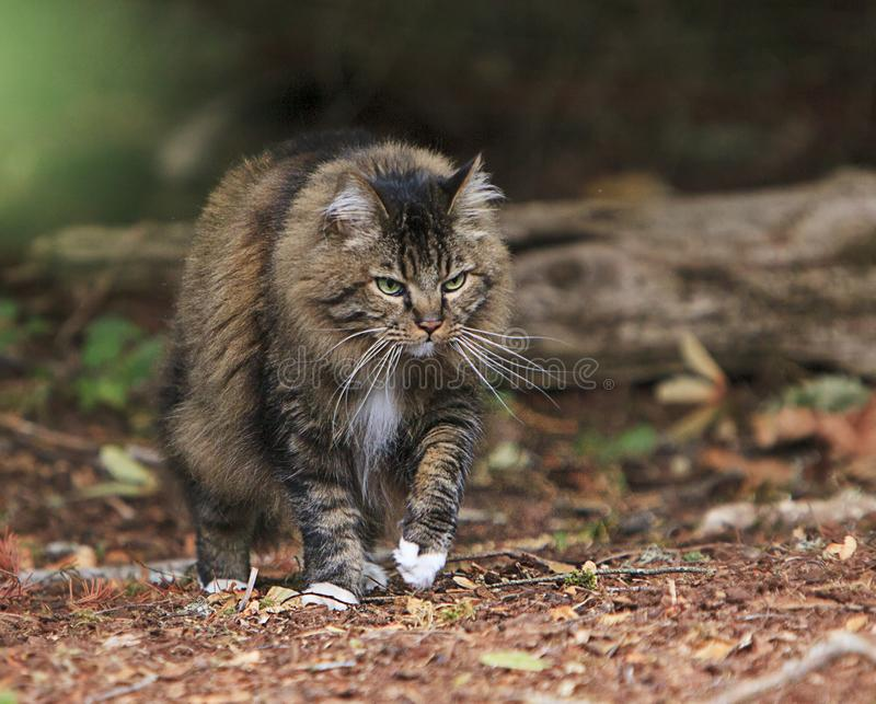 Cat Stalking out of Wooded Forest royalty free stock image