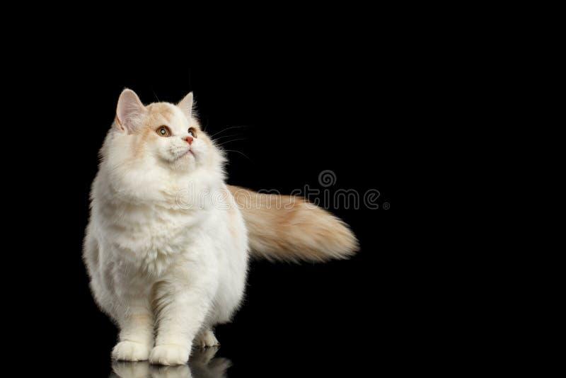 Cat Standing recta escocesa y mirada de negro para arriba aislado foto de archivo