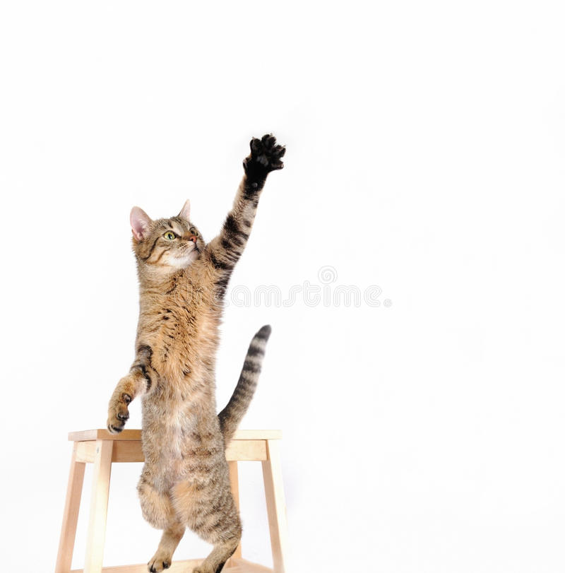 Cat are standing and rising hand on the white background royalty free stock photography