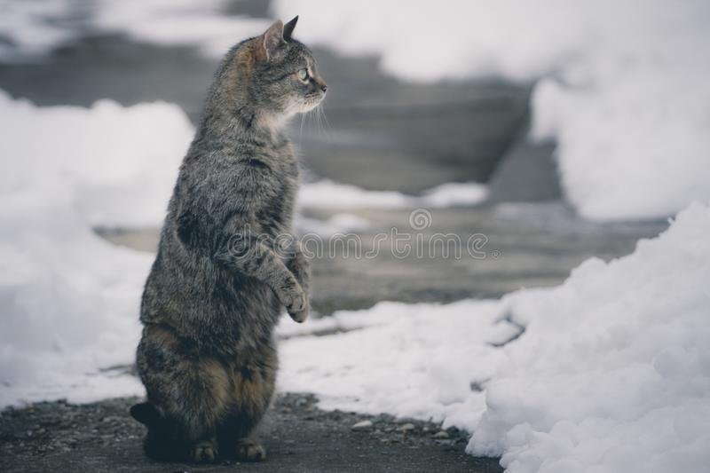 Cat standing on two feet looking away on concrete covered with s. A cat standing on two feet looking away on concrete covered with snow royalty free stock photos