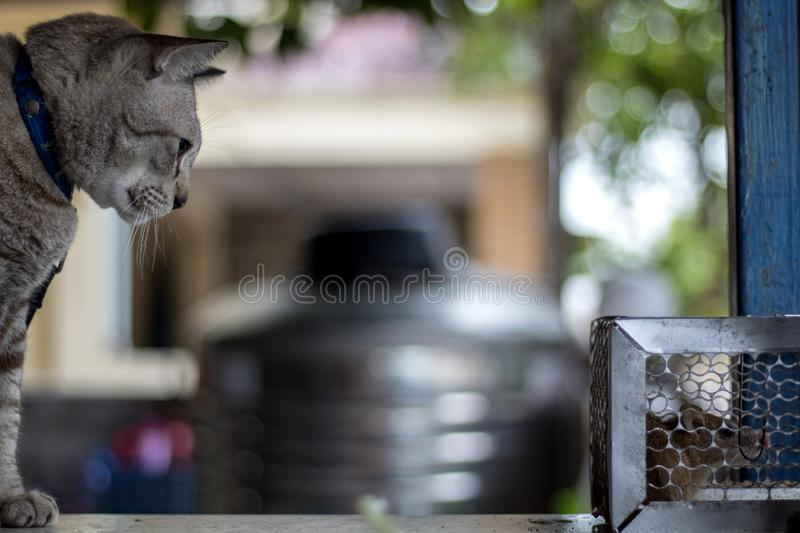 The cat stared at the rat trapped in the trap cage.  stock photography