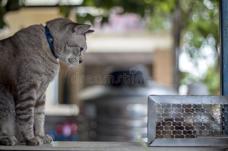 The cat stared at the rat trapped in the trap cage.  royalty free stock photography