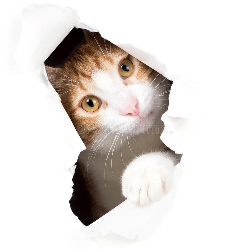 Cat stares through a hole in paper. Isolated on white background