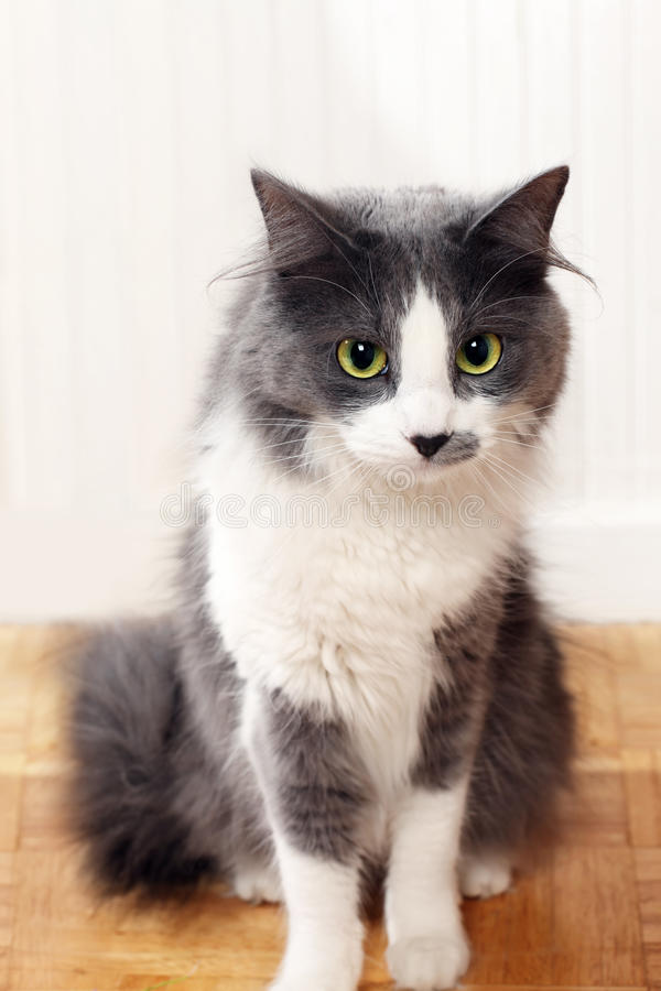 Cat staring. House cat staring with yellow eyes stock images