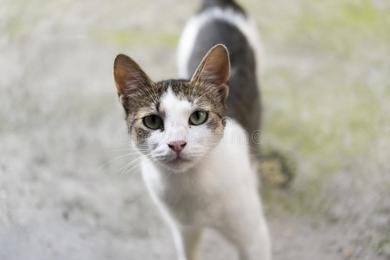 Cat Staring lizenzfreie stockfotografie
