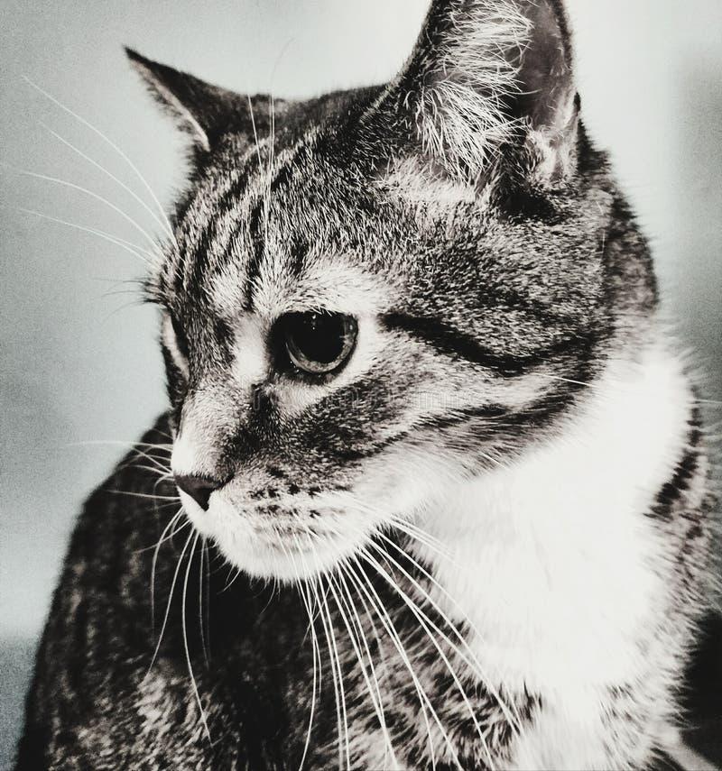 Cat Staring immagine stock libera da diritti