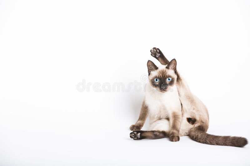 Cat Staring During Cleaning Crotch. A cat stares into the camera in the middle of cleaning his crotch. leg above head in awkward position stock photos