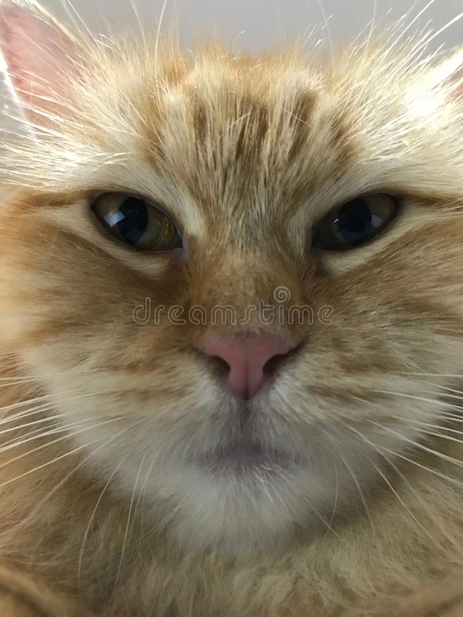Cat staring in front of the camera. Furry Cat staring near and closely in front of a camera looking grumpy stock photo