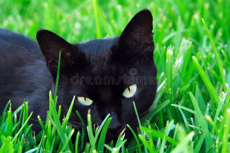 Cat staring in the grass. Cat hidding on the grass with eyes staring between the leaves royalty free stock photography