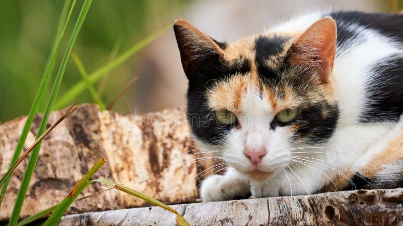 Cat Staring Headshot Tan Black and White arkivfoton