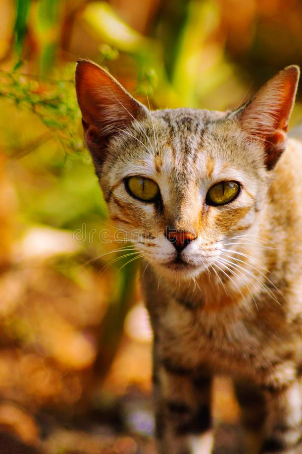 Cat Staring an Ihnen, Satara, Maharashtra, Indien stockfotos