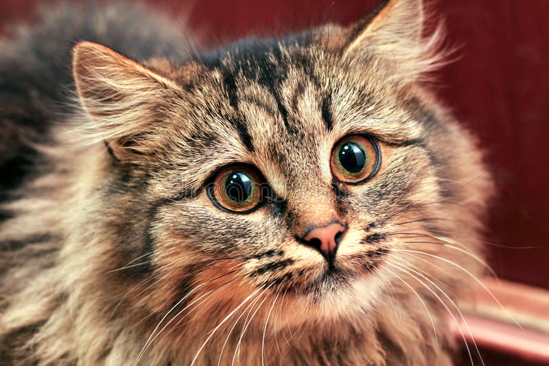 Cat staring intensely. Excited cat staring intensely to the camera royalty free stock photo
