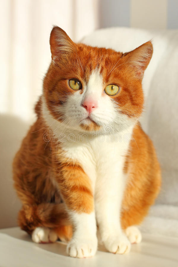 Cat Staring Intensely. Portrait of a cute cat closeup stock image