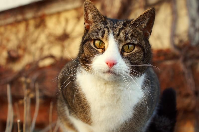 A cat is staring intensely. Portrait of a cute and young cat with vivid eyes staring into the camera stock photos