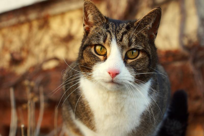 A cat is staring intensely. Portrait of a cute and young cat with vivid eyes staring into the camera stock image