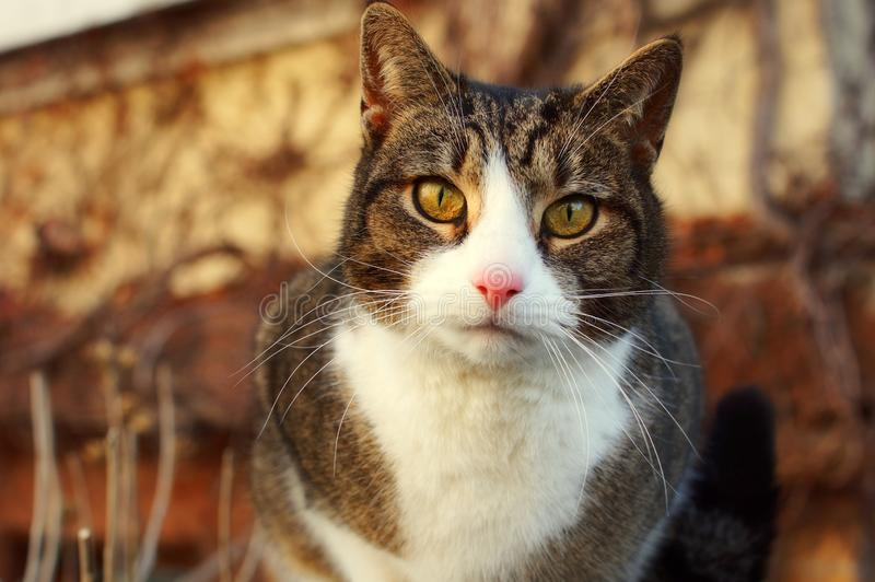 A cat is staring intensely. Portrait of a cute and young cat with vivid eyes staring into the camera stock images