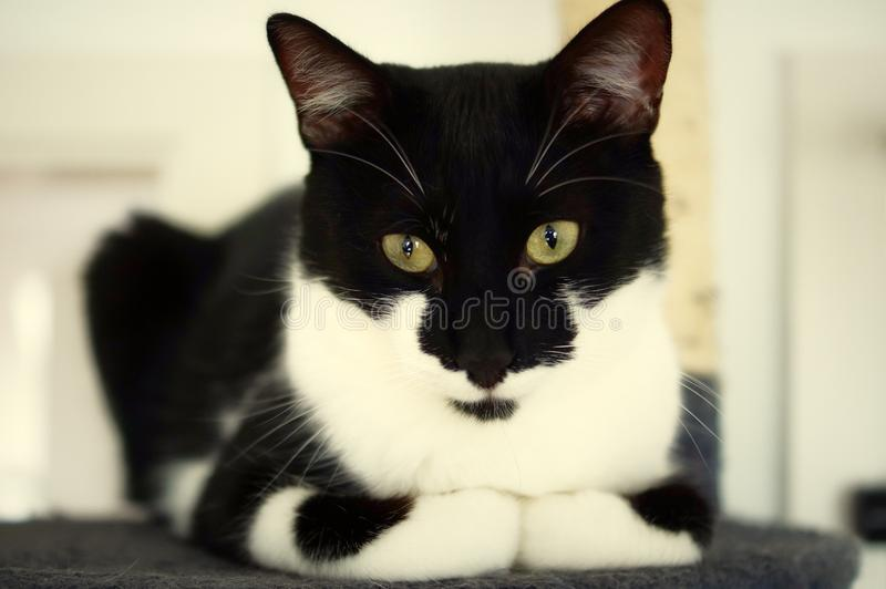 A cat is staring intensely. Portrait of a cute and young cat with vivid eyes staring into the camera stock photo