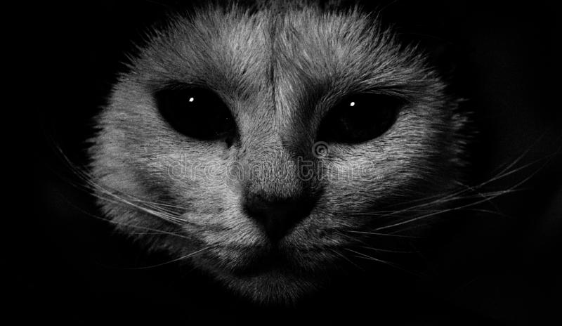 Cat staring at me. Black, white, low, key royalty free stock photography