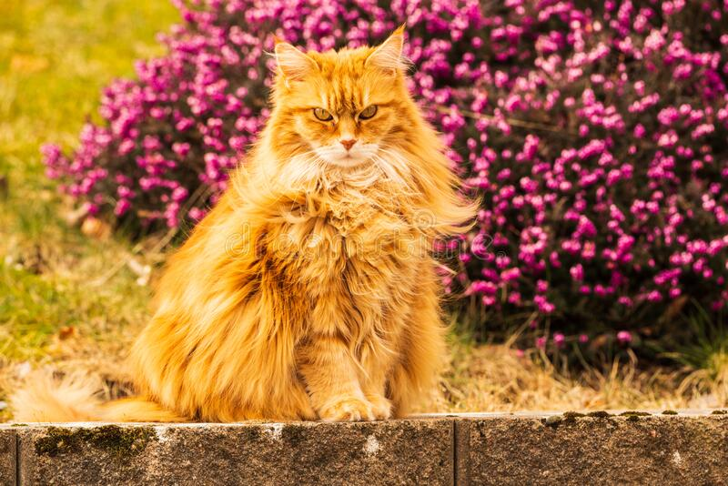Cat on stone wall. An orange cat on a stone wall. Purple flowers in background royalty free stock image