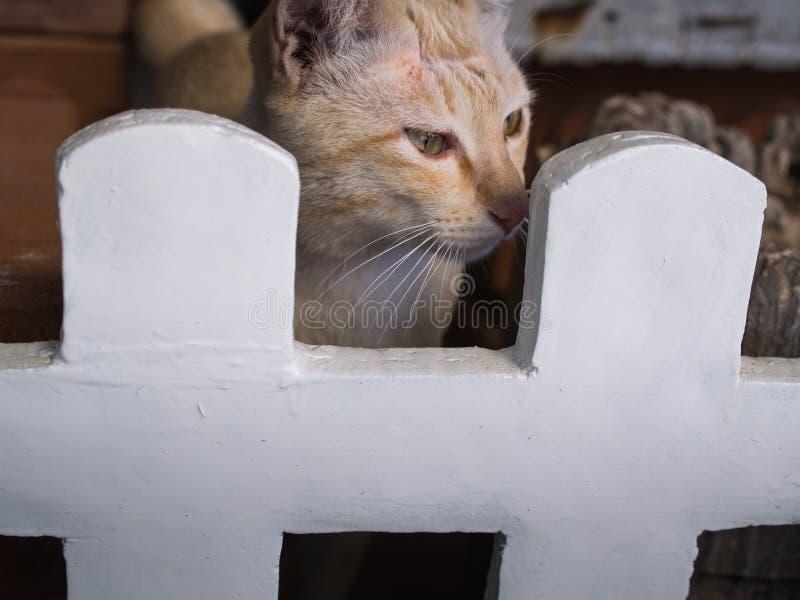 Cat Stood amarilla en una cerca blanca fotografía de archivo