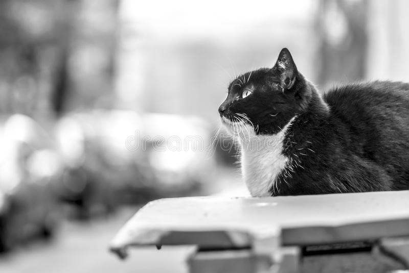 Cat on the street, independent look (BW)... Bright photo of a beautiful elegant cat, sitting at the street. Big expressive eyes, confident independent look royalty free stock image