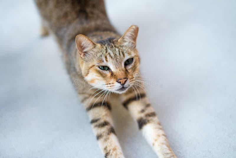 Cat Stretching Body Orelha-derrubada imagem de stock