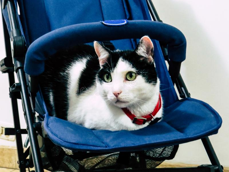 Cat on Stroller like a Human Baby royalty free stock photo