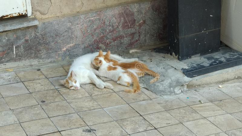 Cat suckling cubs fotografering för bildbyråer
