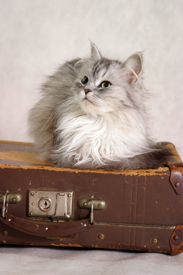 Cat on a suitcase. The studio image of a cat sitting on an old suitcase royalty free stock images