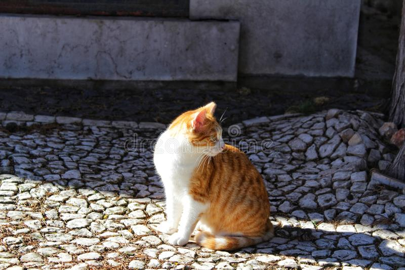 Cat sunbathing on cobbled ground. In Lisbon stock photography