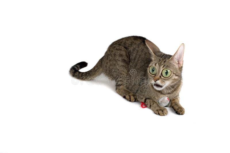 cat surprised very στοκ φωτογραφίες με δικαίωμα ελεύθερης χρήσης