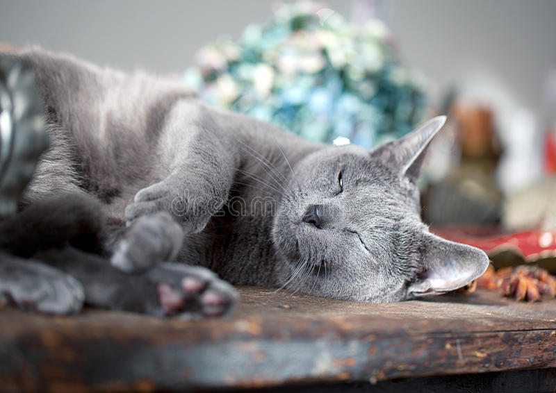 Download Cat on Table stock image. Image of beautiful, lying, blue - 21581487