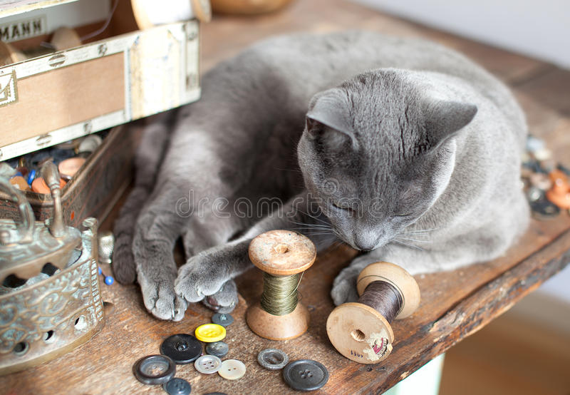 Cat on Table. Russian Blue Cat relaxing on table with sewing tools stock images