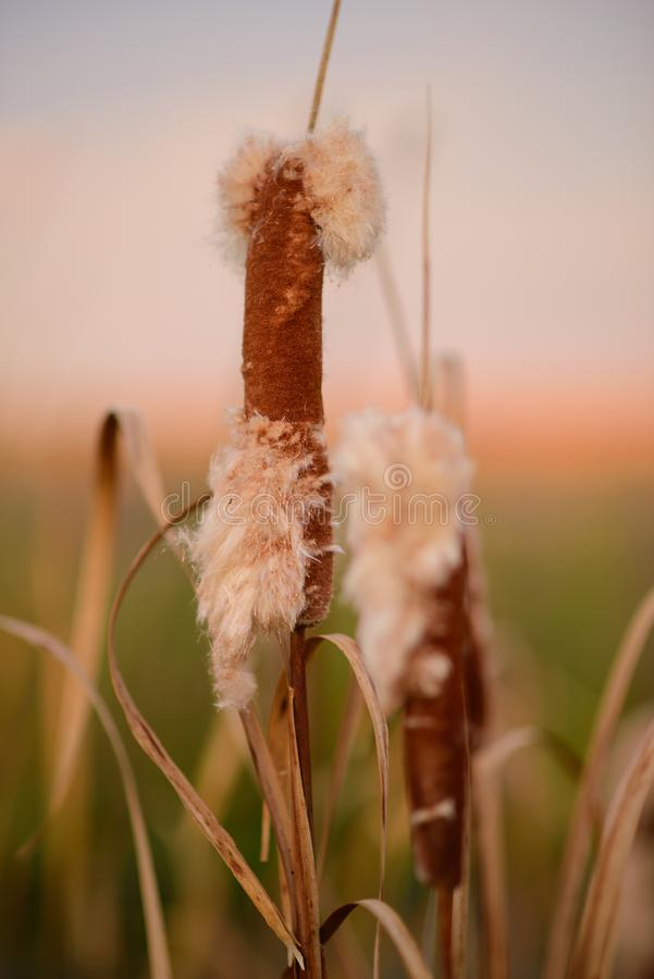 Cat Tails royalty free stock image