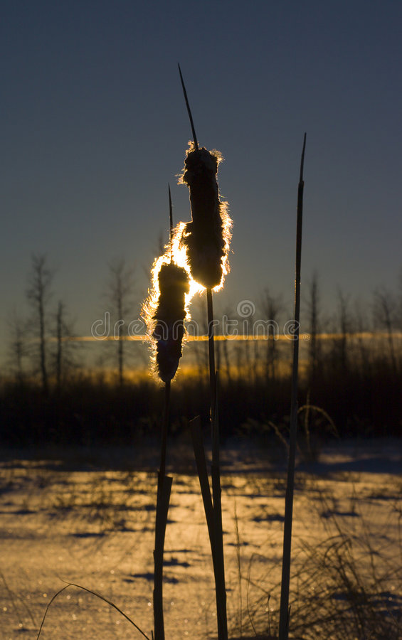 Cat tails in the sun royalty free stock images