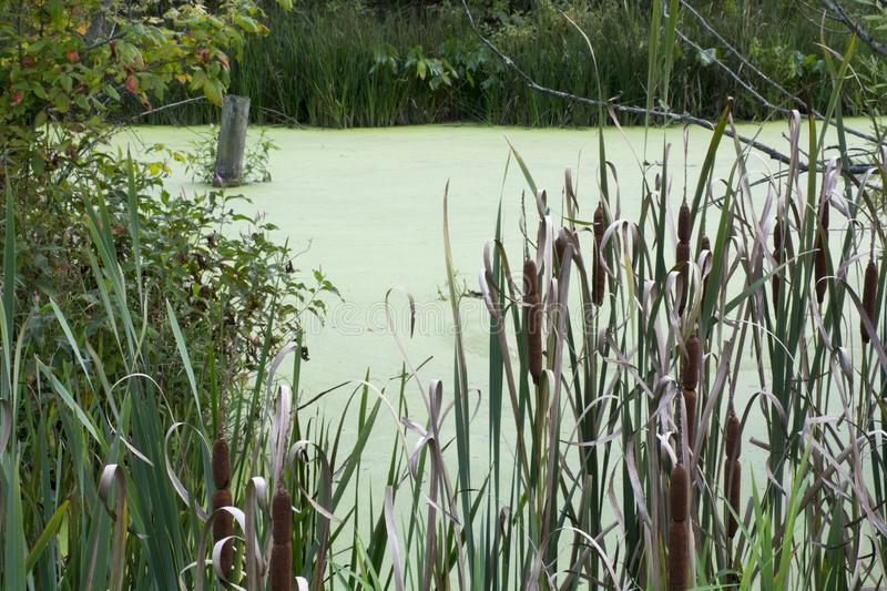 Cat tails in wetlands stock photography