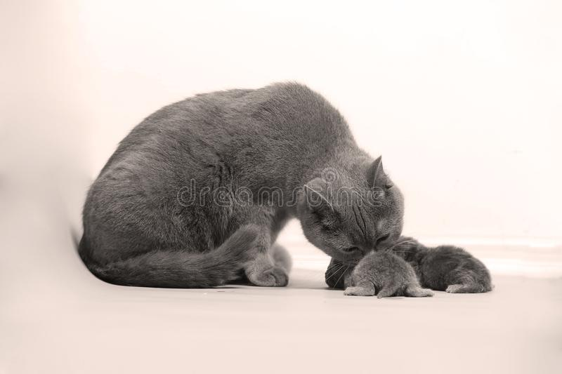 Cat takes care of her new borns, first day of life stock photos
