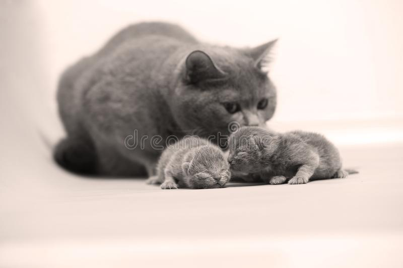 Cat takes care of her new borns, first day of life royalty free stock image