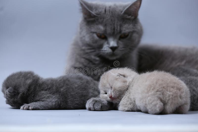 Cat takes care of kittens. British Shorthair mom cat feeds her kittens on gray background royalty free stock photography